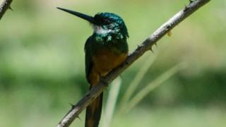 BirdWatching-Mgz-Rufous-tailed-Jacamar-Galbula-ruficauda
