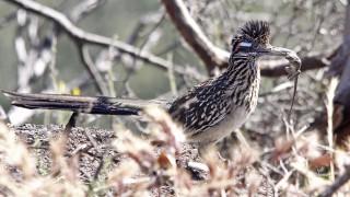 Greater-Roadrunner-Torrey-Pines-5-29-10-5-200PI