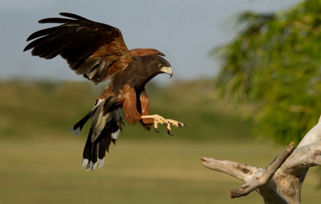 Harris-Hawk-coming-in-for-a-landing
