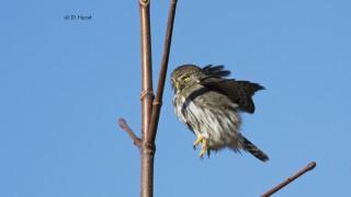 Northern-Pygmy-Owl-003
