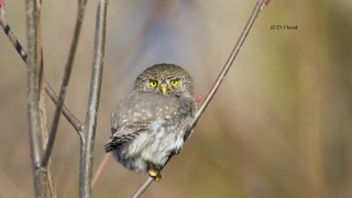 Northern-Pygmy-Owl-005