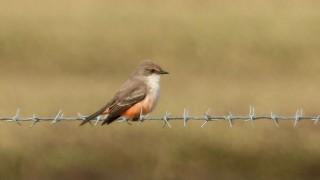 Vermilion-Flycatcher-female1