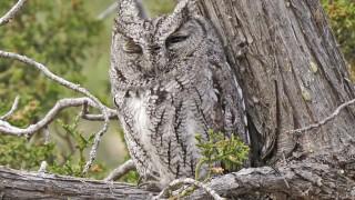 Western-Screech-Owl-Elden-12-16-14-29-200PI