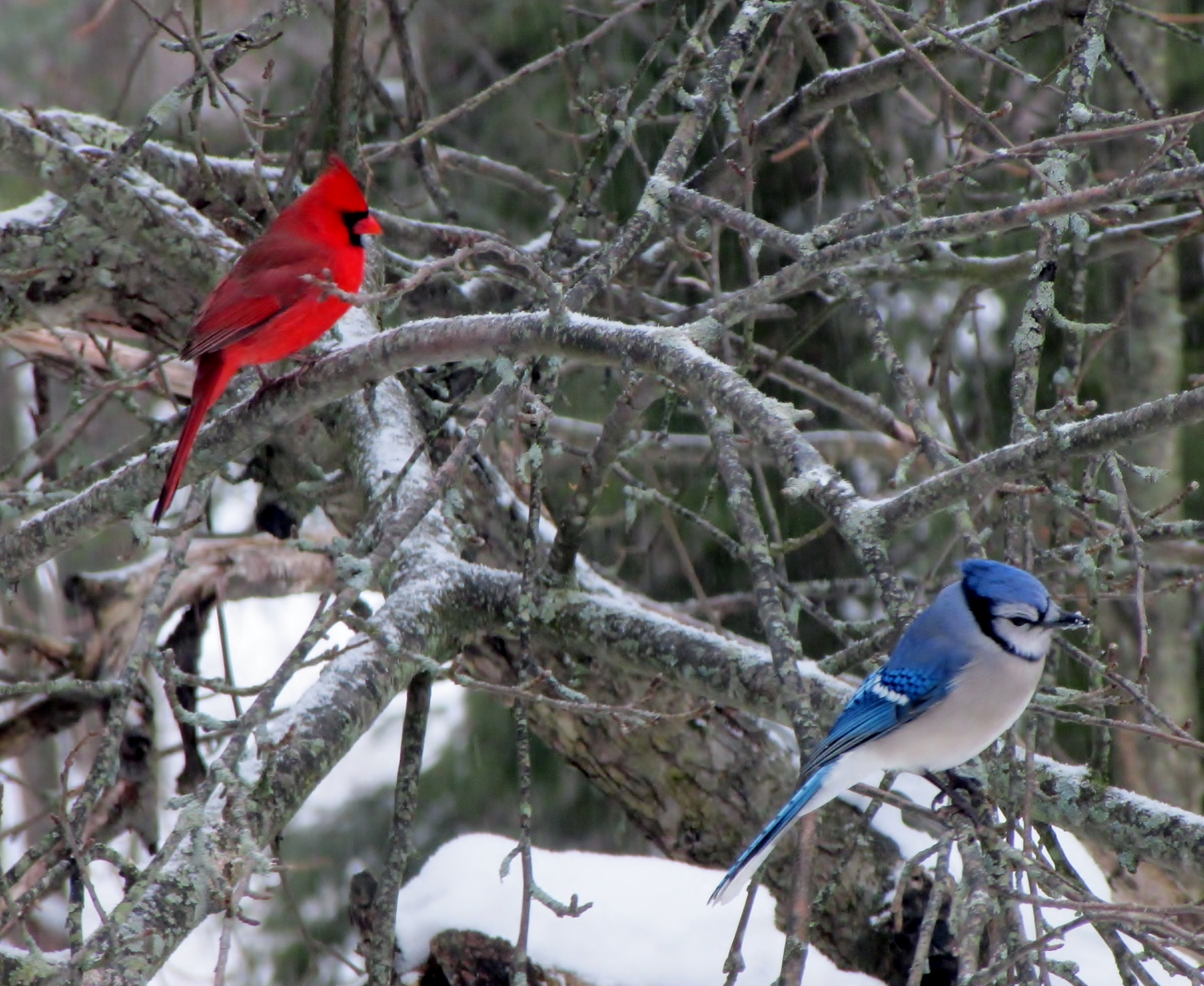 Northern Cardinal And Blue Jay Birdwatching