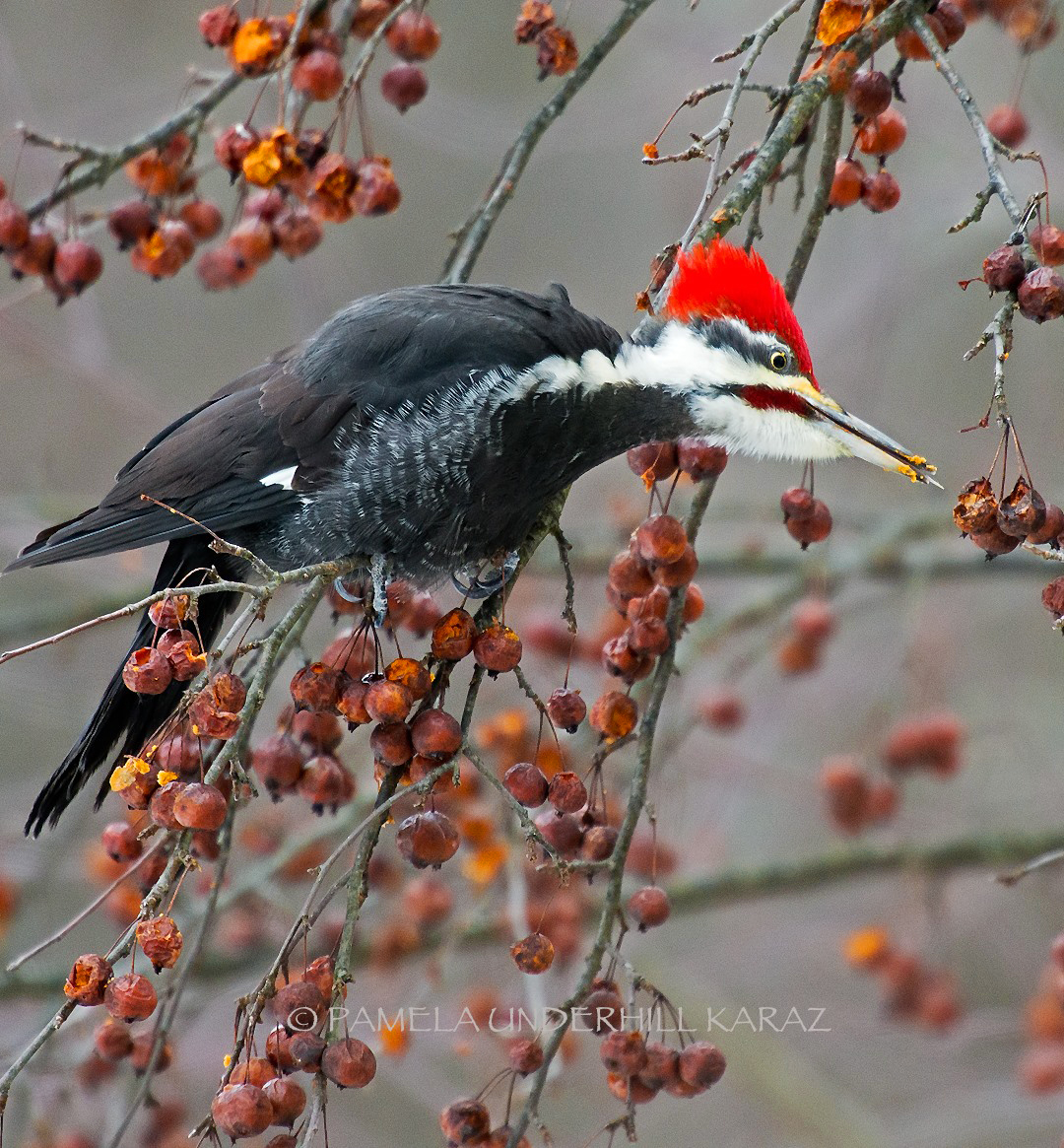 Pileated Woodpecker - BirdWatching