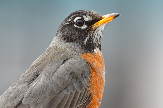 Species profile: Snow bird, American Robin