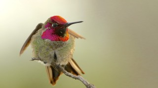 Annas-Hummingbird-Version-4