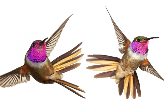 New hummingbird species proposed for the Bahamas