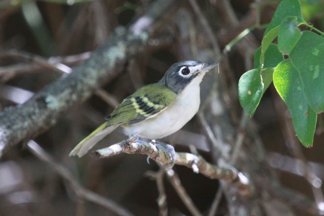 Species profile: The wonder of the Wichita Mountains, Black-capped Vireo