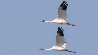 Two Whooping Cranes fly at Goose Island State Park near the central Texas coast in February 2015. Photo by Lora Render