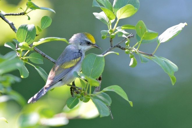 Golden-winged Warblers abandoned breeding grounds before severe storm blew in