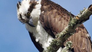 Osprey in central Florida, February 15, 2014, by sfischer2250.
