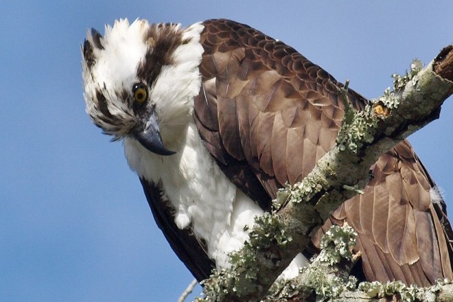 Studies reveal winter habitat choices, migration routes of Osprey