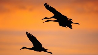 Sandhill Cranes at Bosque del Apache National Wildlife Refuge, New Mexico, by Brad Starry.