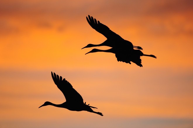 Spectacle basics: When and where to see Sandhill Cranes this March