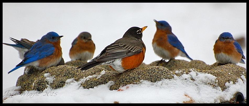American Robin and Eastern Bluebirds