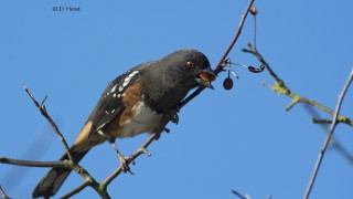 Spotted-Towhee-2-1