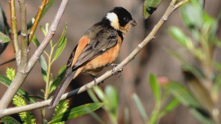 White-collared-Seedeater