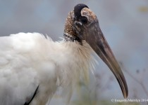 Wood-Stork-closewtmksm