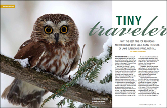Northern Saw-whet Owl: Tiny traveler