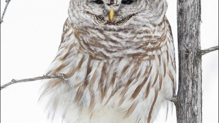 tn_Barred-Owl_5398-1