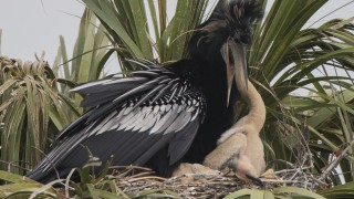 Anhinga-feeding-young