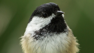 Simple chickadees observe a complex social hierarchy