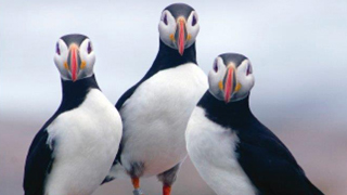 'Project Puffin' tells how a kid from Ohio brought puffins back to the coast of central Maine