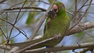 Cuban Parakeet, one of the island's 26 endemic bird species. Photo by Ekaterina Chernetsova (Creative Commons)
