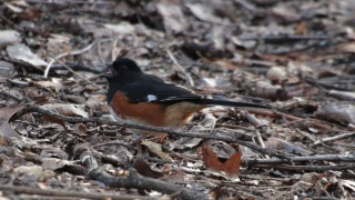 Male-Eastern-Towhee-04.05.2015-w-seed-in-mouth