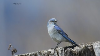 Mountain-Bluebird-011