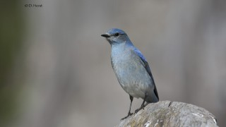 Mountain-Bluebird-04