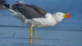 A Pacific Gull takes a drink on a bay south of Melbourne, Australia. Photo by David and Dorothy Jenkins (Creative Commons)