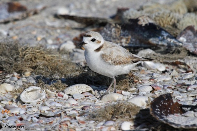 Armchair birding: Six photos of plovers