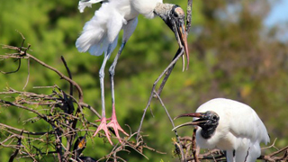 Wood-stork-320