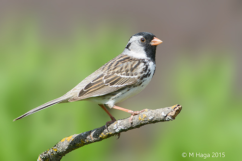 eBird maps show where to find Harris's Sparrow