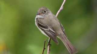 Alder Flycatcher. Photo by Simon Pierre Barrette/Wikimedia Commons (Creative Commons)