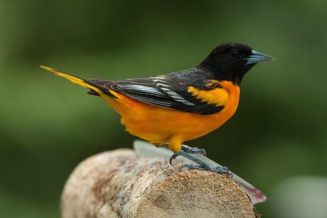 How the Great Wisconsin Birdathon is helping Wisconsin's great birds