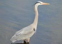Blue-Heron-7-1