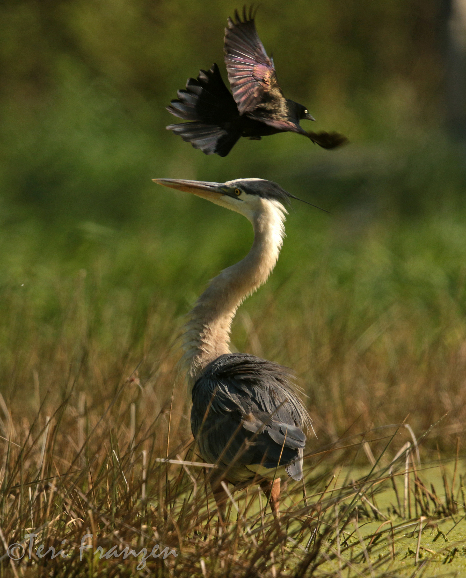 Great Blue Heron and Common Grackle