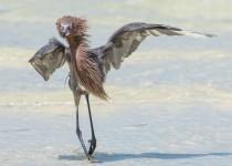 Pied Reddish Egret