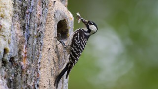 A Red-cockaded Woodpecker holds prey outside its nest cavity. Photo by U.S. Fish and Wildlife Service