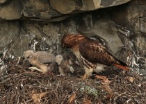 Red_Tailed_Hawks1