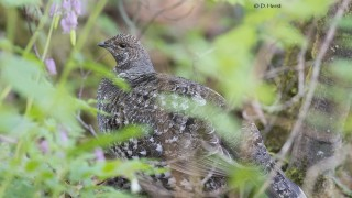 Sooty-Grouse-female