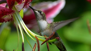 Storms-Ruby-throated-660