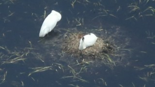 WHCR-pair-nest-660