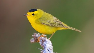 Wilson's Warbler in San Pedro Riparian NCA, Arizona, May 2014, by gscott68.