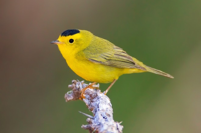 Wilson's Warbler is most likely two species