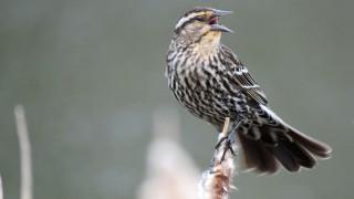 female-Redwinged-Blackbird