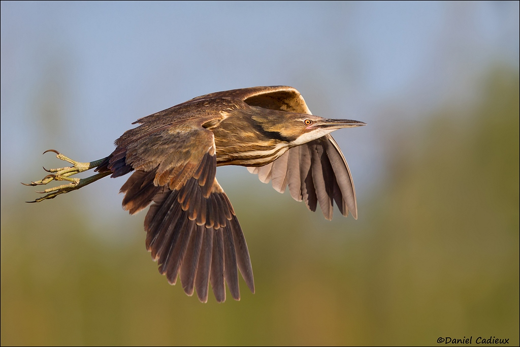 Photo gallery: Five pictures of American Bittern
